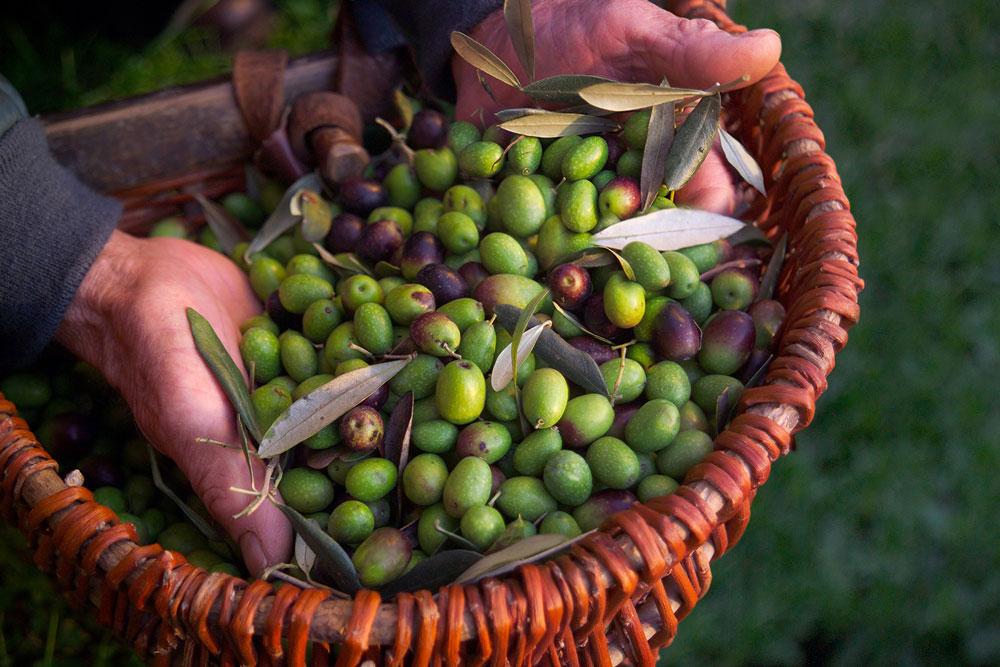 raccogliere le olive a settembre