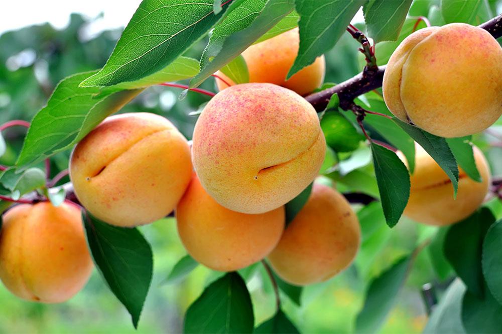 protezione per alberi da frutta