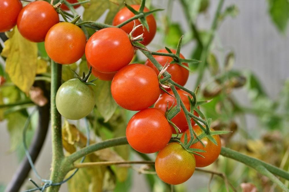 cimatura dei pomodori
