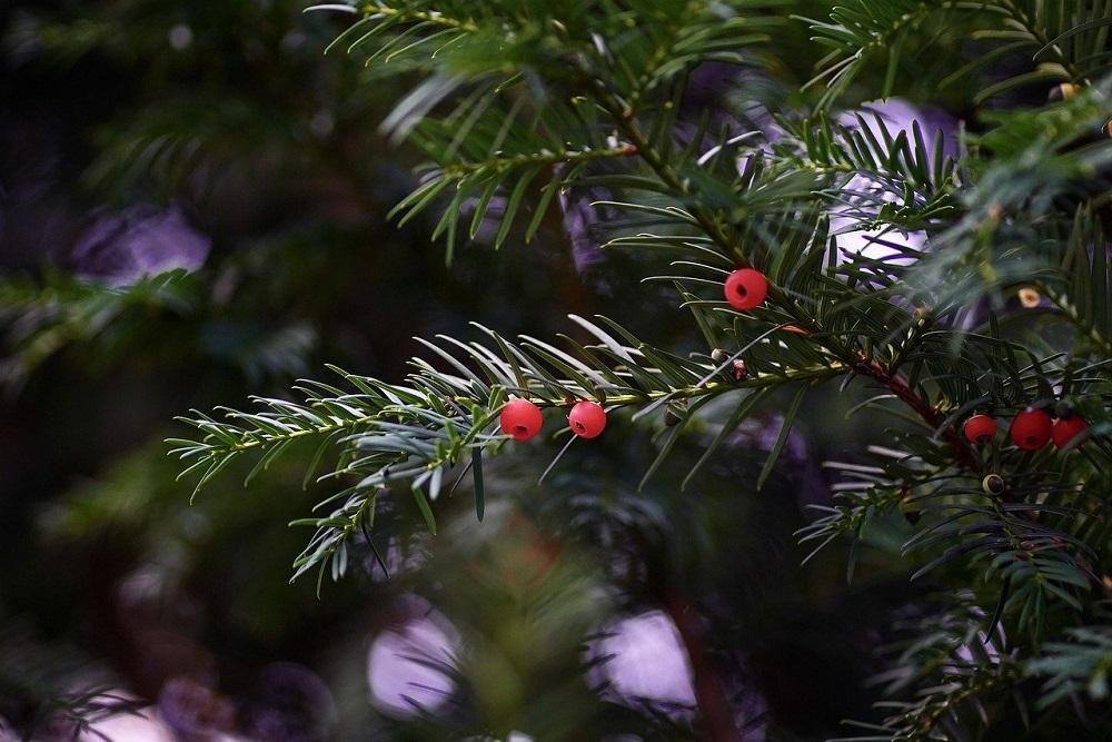 10 alberi sempreverdi per il giardino | Tubex Italia