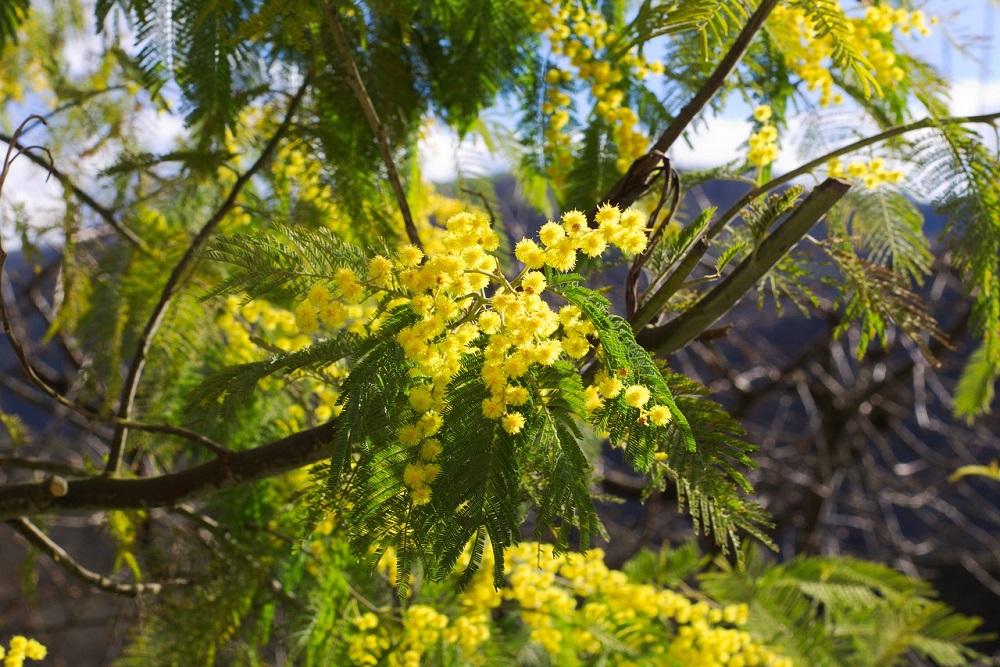 Curare l'albero della mimosa | Tubex Italia