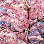 consigli sulla cura e la coltivazione del ciliegio nano