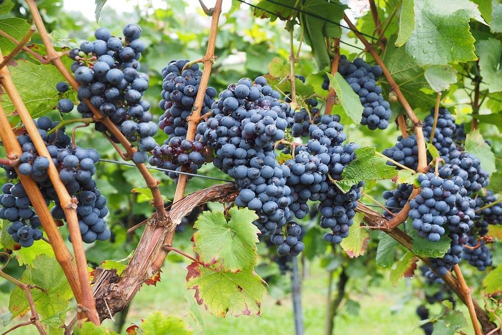 legatrici professionali per la viticoltura