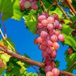 legatrici professionali per la viticoltura e la cura della vite