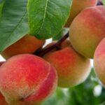 cura degli alberi da frutto
